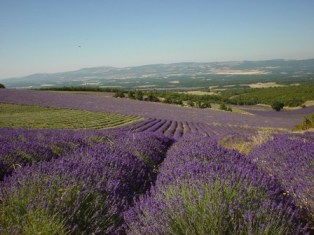 A large commercial lavender farm in France.