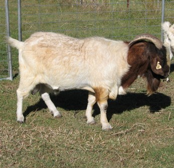 Breeding meat goats on small farms | Farmstyle Australia