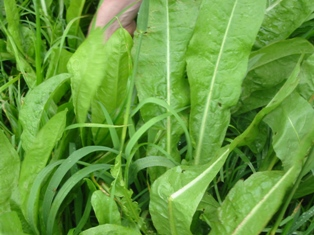 Chicory - grazing herb for livestock farmers.