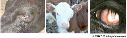 Pinkeye Vaccine For Cattle Farmstyle Australia