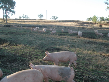 Getting Started In Free Range Pigs Farmstyle Australia